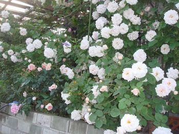 Rose_048